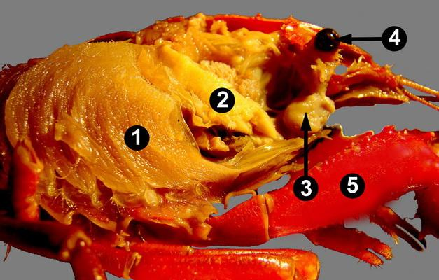 with the carapace removed) 1: Stomach 2: Digestive glands 6: