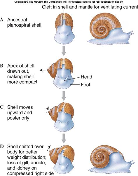 Class Gastropoda, coiling l Coiling is not the same as torsion.