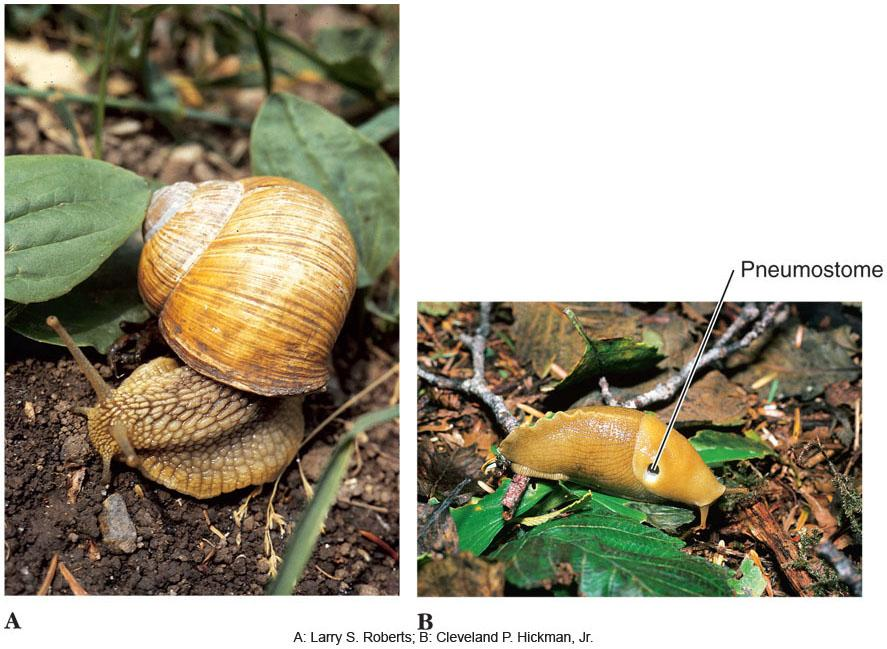 Major Groups of Gastropods l Pulmonata includes land and most freshwater snails and slugs.