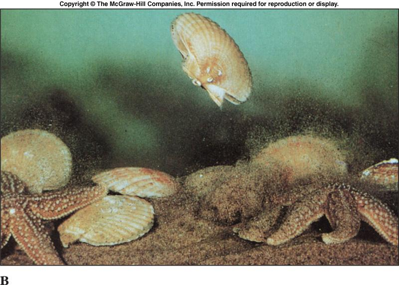 Class Bivalvia - Locomotion l Bivalves move around by extending the muscular foot between the shells.