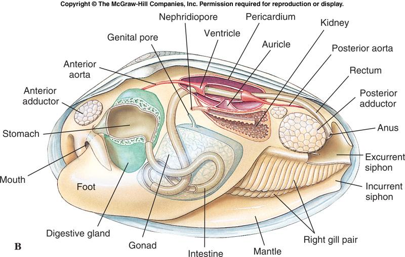 Class Bivalvia l l l l l Like other molluscs, bivalves have a coelom and an open circulatory system.