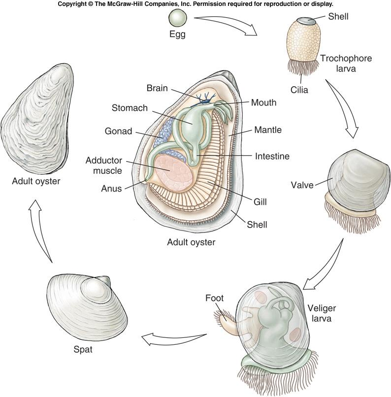 Class Bivalvia - Reproduction l Bivalves usually have separate sexes.