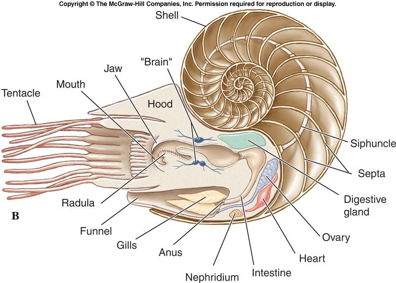 Class Cephalopoda - Shells l Shells of Nautilus and early nautiloid