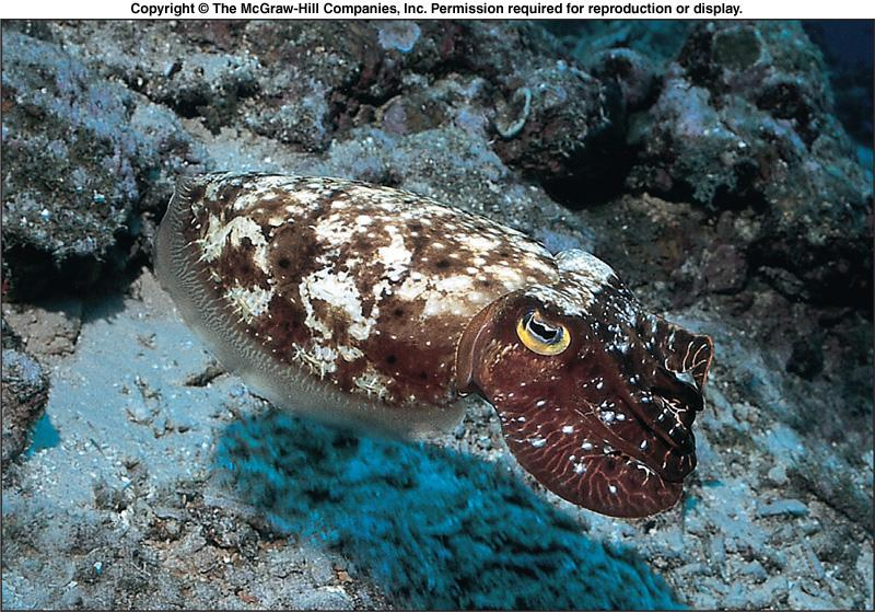 Class Cephalopoda - Shells l Cuttlefishes have a