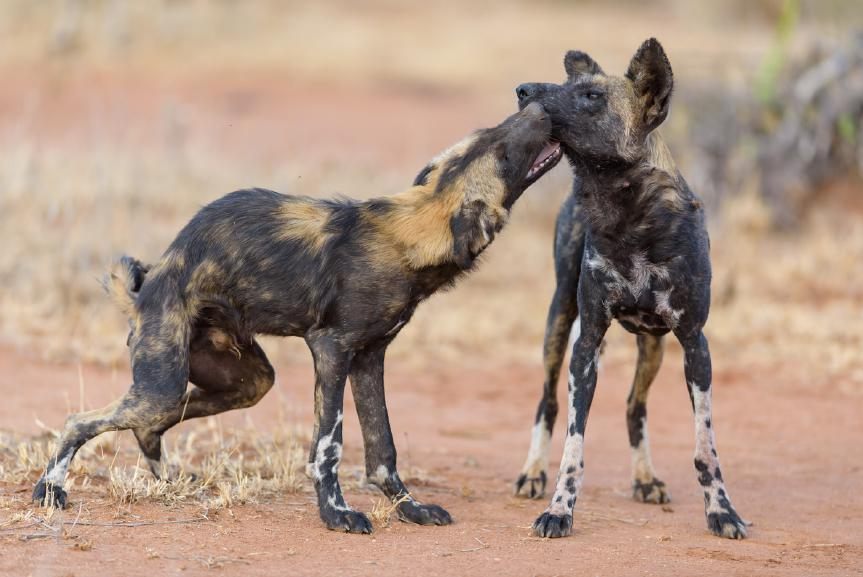 KENYA S RARE SPECIES PHOTO SAFARI Join wildlife photographer Margot Raggett on a seven night photographic safari to beautiful Laikipia to photograph wild dogs and other rare northern species February