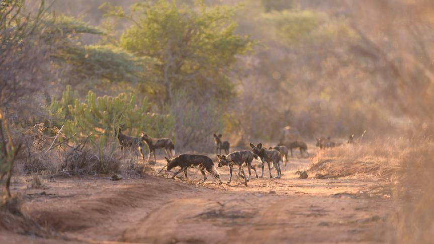 Here we will be concentrating on wild dogs as much as we can, tracking the local wild dog pack with Steve