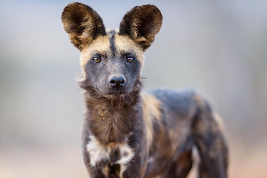 Steve has been following this pack of wild dogs for ten years and knows them better than anyone.