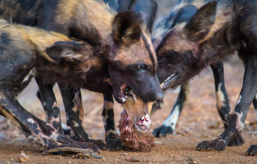 Wild dogs are one of the most challenging wildlife subjects to find and photograph, as you ll discover, hence the investment in four nights in this wonderful camp.