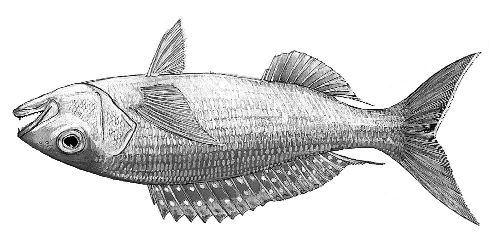 2914 Bony Fishes Pristipomoides typus Bleeker, 1852 Frequent synonyms / misidentifications: None / Other species of Pristipomoides.