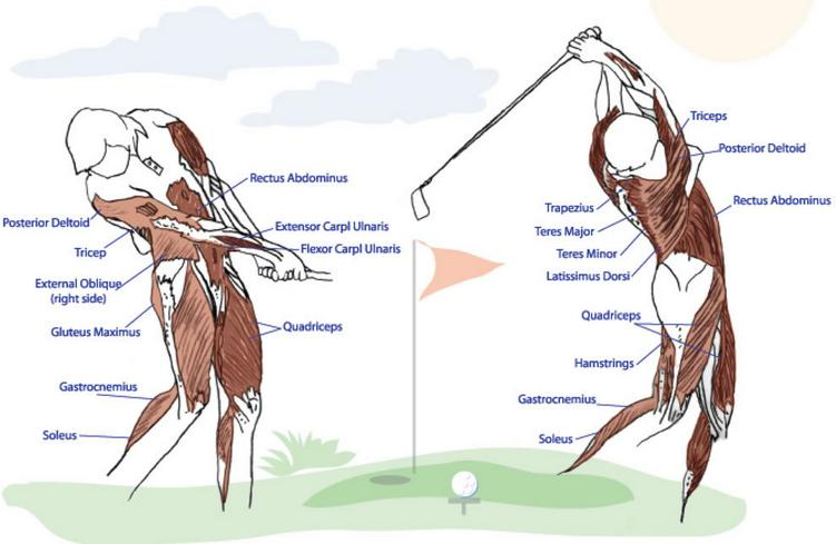 The Better Golfer s Guide to Strength Training Your golf swing requires 21 different muscles to