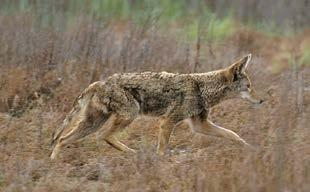 Wolves were once restricted to the northern part of Minnesota, but they have expanded their range and could