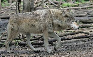 Do not assume that because you are outside Minnesota s primary wolf range that the animal in your sights is a