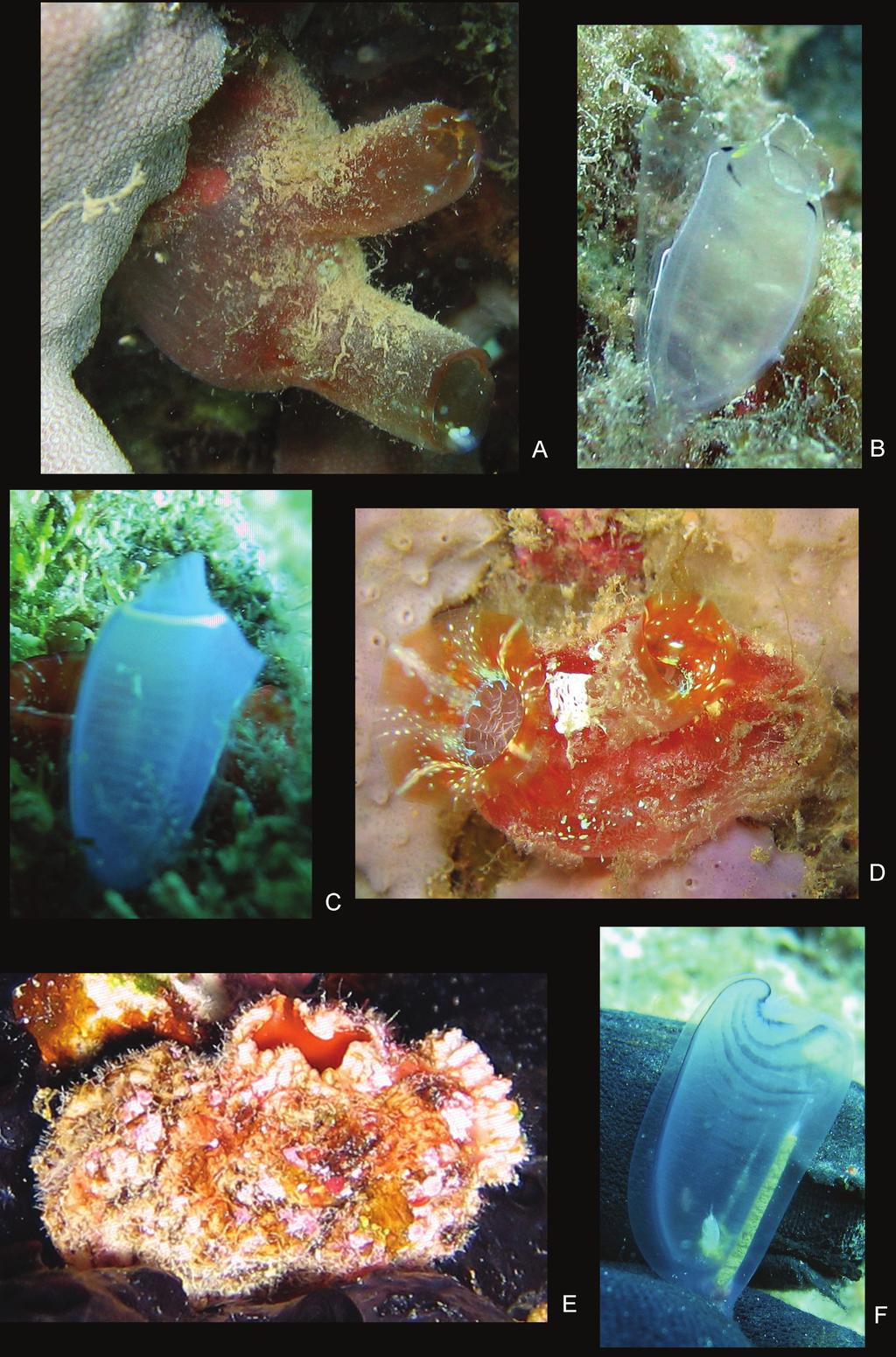 50 Kristine N. White & James Davis Reimer / ZooKeys 163: 13 55 (2012) Figure 18. Color plate of ascidian hosts.