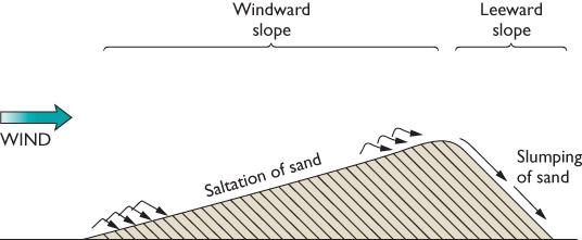 Sand Dunes (Continued) Sand saltates (bounces) up the windward side of the dune. It collects in the wind shadow at the top.