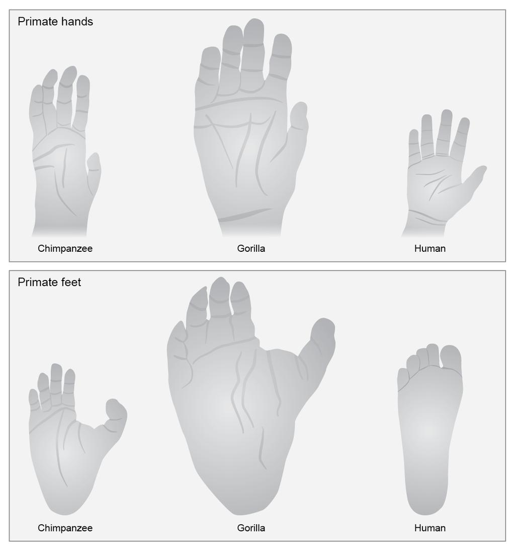 Figure 3. Human feet are strange. Primate hands look similar but human feet look very different from those of other primates, such as the chimpanzee and gorilla.