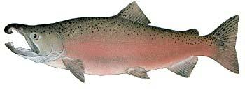 Other Names: Silver Salmon, Silvers Average Size: 6-12 lbs, up to 31 lbs Fall spawner Coho Salmon Oncorhynchus kisutch Coho are a very popular sport fish in Puget Sound.