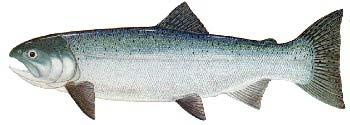 Spawning - Coho spawn in small coastal streams and the tributaries of larger rivers. They prefer areas of mid-velocity water with small to medium sized gravels.