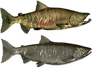 "Chum Salmon Oncorhynchus keta Other Names: Dog Salmon, Calico Average Size: 10-15 lbs, up to 33 lbs Fall spawner Male chum salmon develop large ""teeth"" during spawning, which resemble canine teeth."