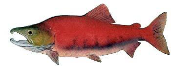 "Sockeye Salmon Oncorhynchus nerka Other Names: Red Salmon, Blueback (Columbia and Quinault Rivers), Kokanee or ""Silver Trout"" (landlocked form) Average Size: 5-8 lbs, up to 15 lbs Fall spawner"