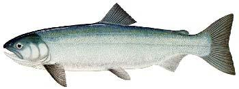Spawning - Sockeye are unique in that they require a lake to rear in as fry, so the river they choose to spawn in must have a lake in the system.