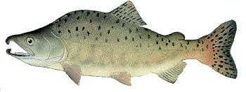 Other Names: Humpie, Humpback Salmon Average Size: 3-5 lbs, up to 12 lbs Fall spawner Pink Salmon Oncorhynchus gorbuscha Male pink salmon develop a large hump on their back during spawning, hence the