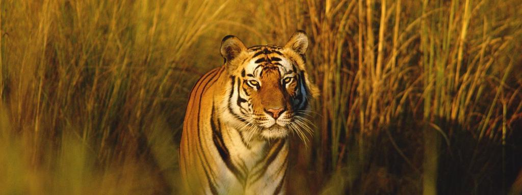- 3200 tigers live in the wild - 5,000 tigers live