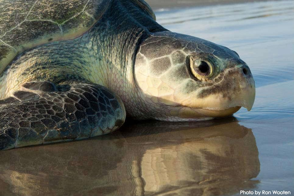 Sea Turtles All seven species are appendix 1 on CITES For more than 100 million years marine turtles have covered vast distances across the