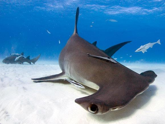One quarter of shark and ray species are threatened with extinction.