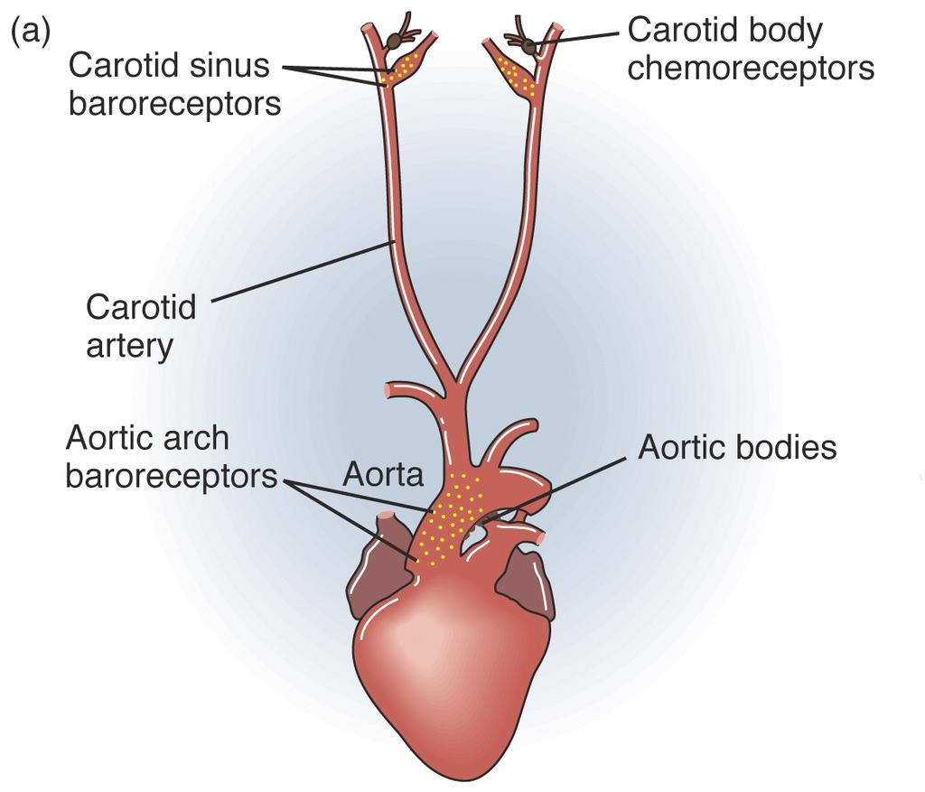 Peripheral Chemosensors Carotid and Aortic bodies Sensitive to PO2, PsCO2, and (CO2