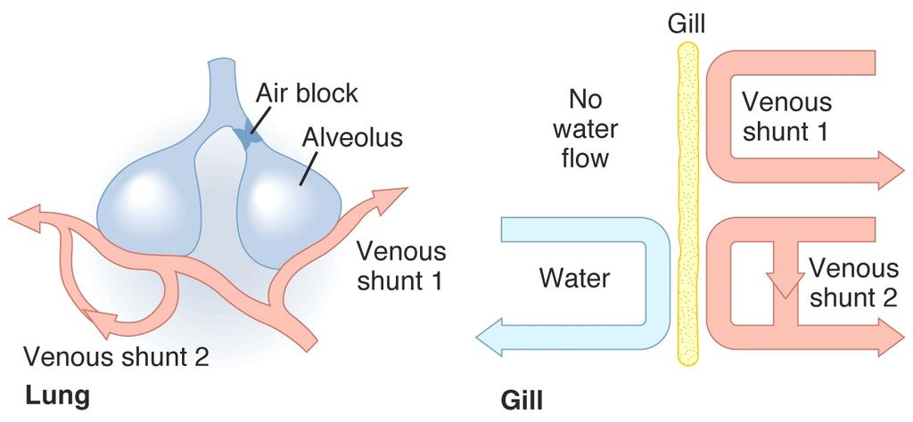 /Perfusion (V/Q) Matching Goal: Match blood flow to ventilation, both local