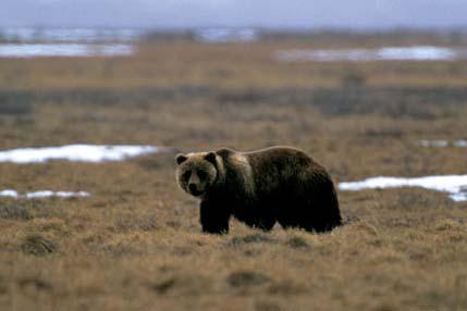 1 COSEWIC Assessment and Status Report for Grizzly Bear Western population (Ursus arctos) in Canada SUMMARY The COSEWIC Assessment and Status Report for grizzly bears assess the status of Western and