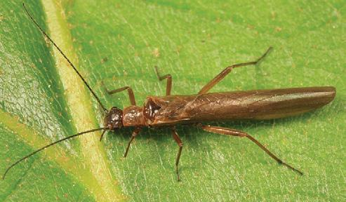 Needleflies/Rolledwinged Stoneflies Leuctridae Like Snowflies, Needleflies are small stoneflies with long, skinny bodies. Little is known about the larvae.