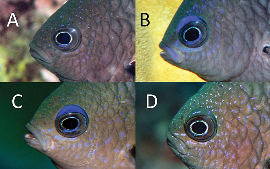 continuing around posterior margin of eye; scaly sheath at base of dorsal and anal fins, averaging about two-thirds pupil-width at base of dorsal fin and about same width at base of anterior part of