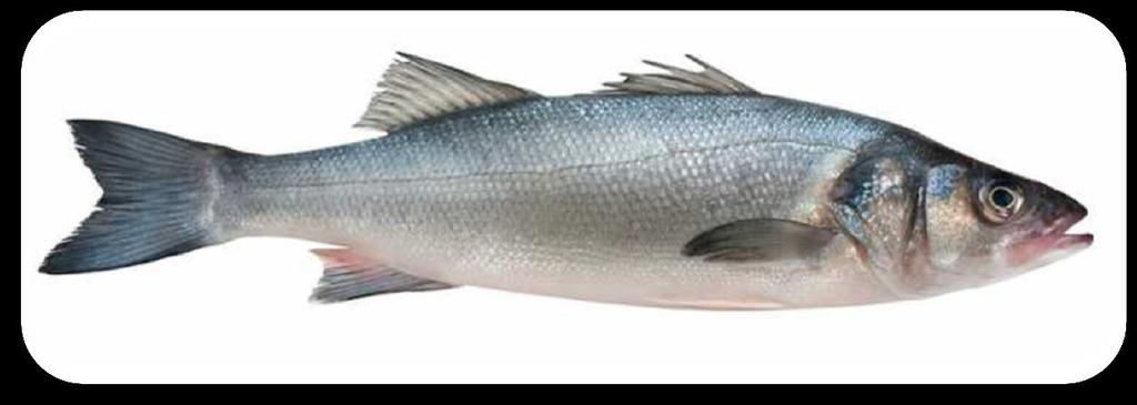 In the Mediterranean,they reach sexual maturity at three years in males and at four years in females World Total aquaculture production of sea bass in