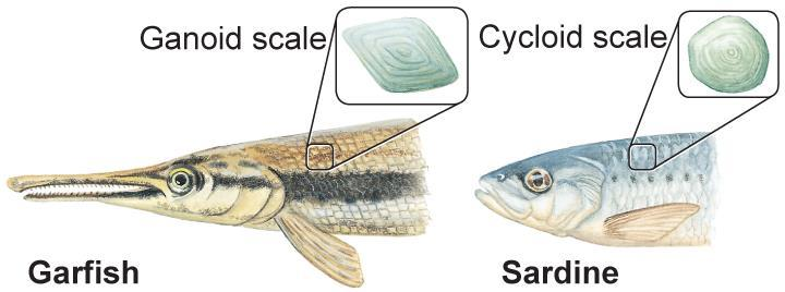 Characteristics of Scales Scales are small, flat, platelike structures near the surface of the skin Ctenoid scales made of