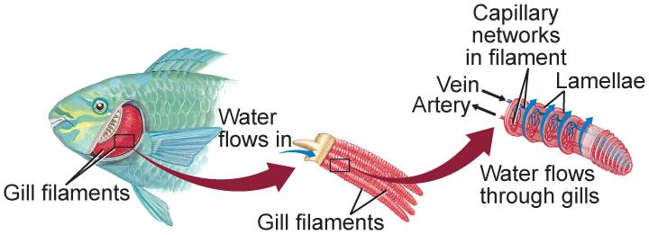 Characteristics of Gills get oxygen when water that enters their mouths flows across their gills, where oxygen from the water diffuses into the blood.