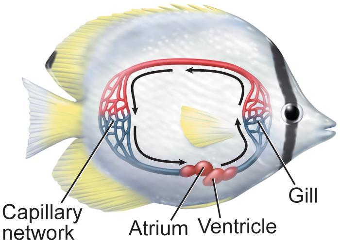 Characteristics of Circulation Vertebrates have a closed circulatory system.
