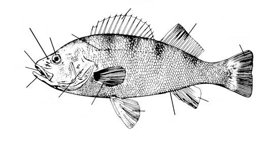 5. Label the perch below. Try to label the figure WITHOUT looking back at the lab handout. 6.