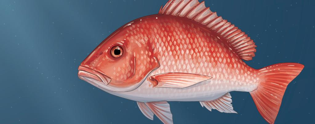 A brief from July 2016 Keeping Gulf Red Snapper on the Road to Recovery Overview In 2007, the Gulf of Mexico Fishery Management Council implemented a rebuilding plan for red snapper that included