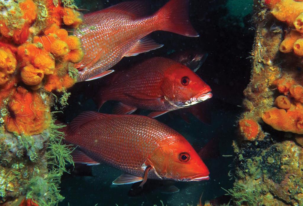More fish taken from state waters means shorter federal season Gulf red snapper are getting bigger and spreading out geographically, which means the recreational catch limit, measured in pounds, is