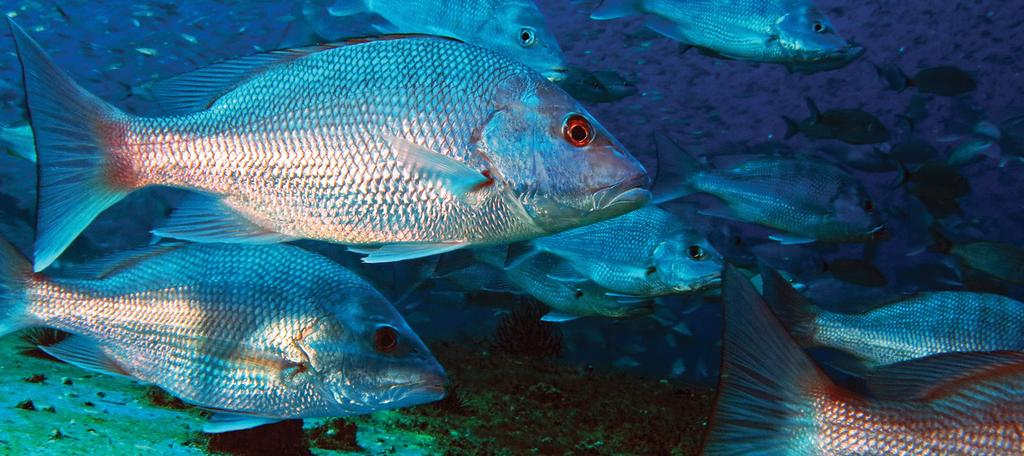 Looking ahead Gulf red snapper are on the road to recovery.