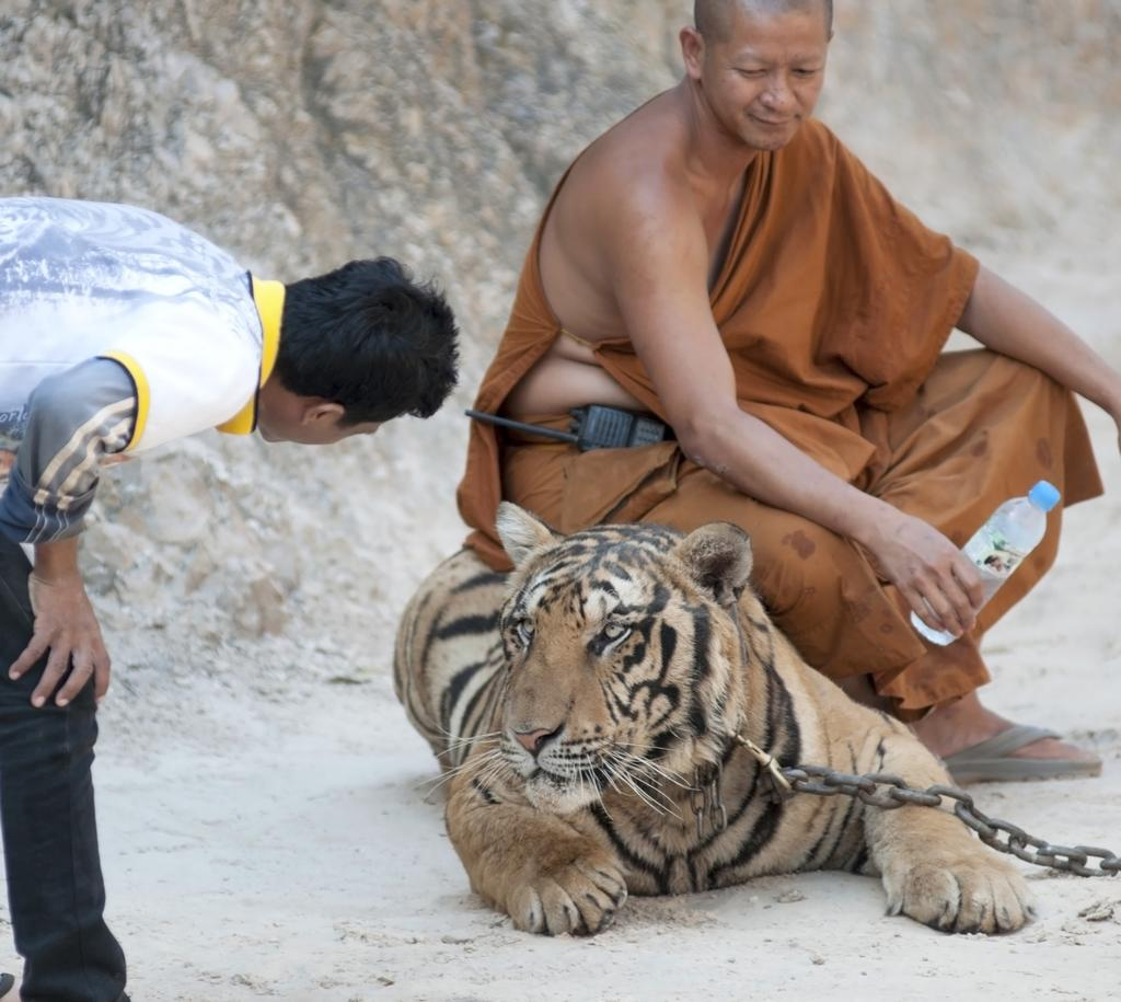 Tigers to be freed 20th April 2015 AFTER 15 years of complaints by animal rights campaigners, all the tigers held at Thailand s Tiger Temple are set to be freed by the end of April.