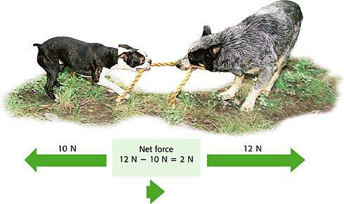 Which dog will win the tug of war? Figure 3 When two forces act in opposite directions, you subtract the smaller force from the larger force to determine the net force.