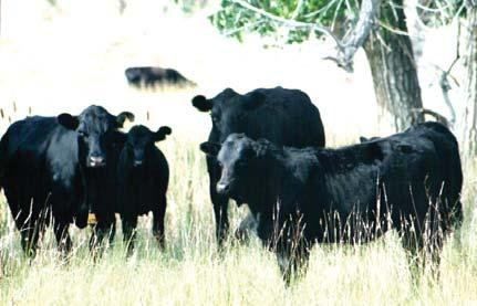 Charlotte notes that they started their ranch with a varied bunch of cattle, but by focusing on improvement, they were able to develop a consistent, strongperforming herd.