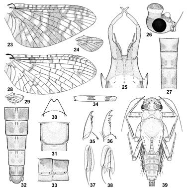 302 J. G. Peters, E. Domínguez and A. Currea Dereser Figures 23 39. Miroculis nebulosus Savage. Figs.