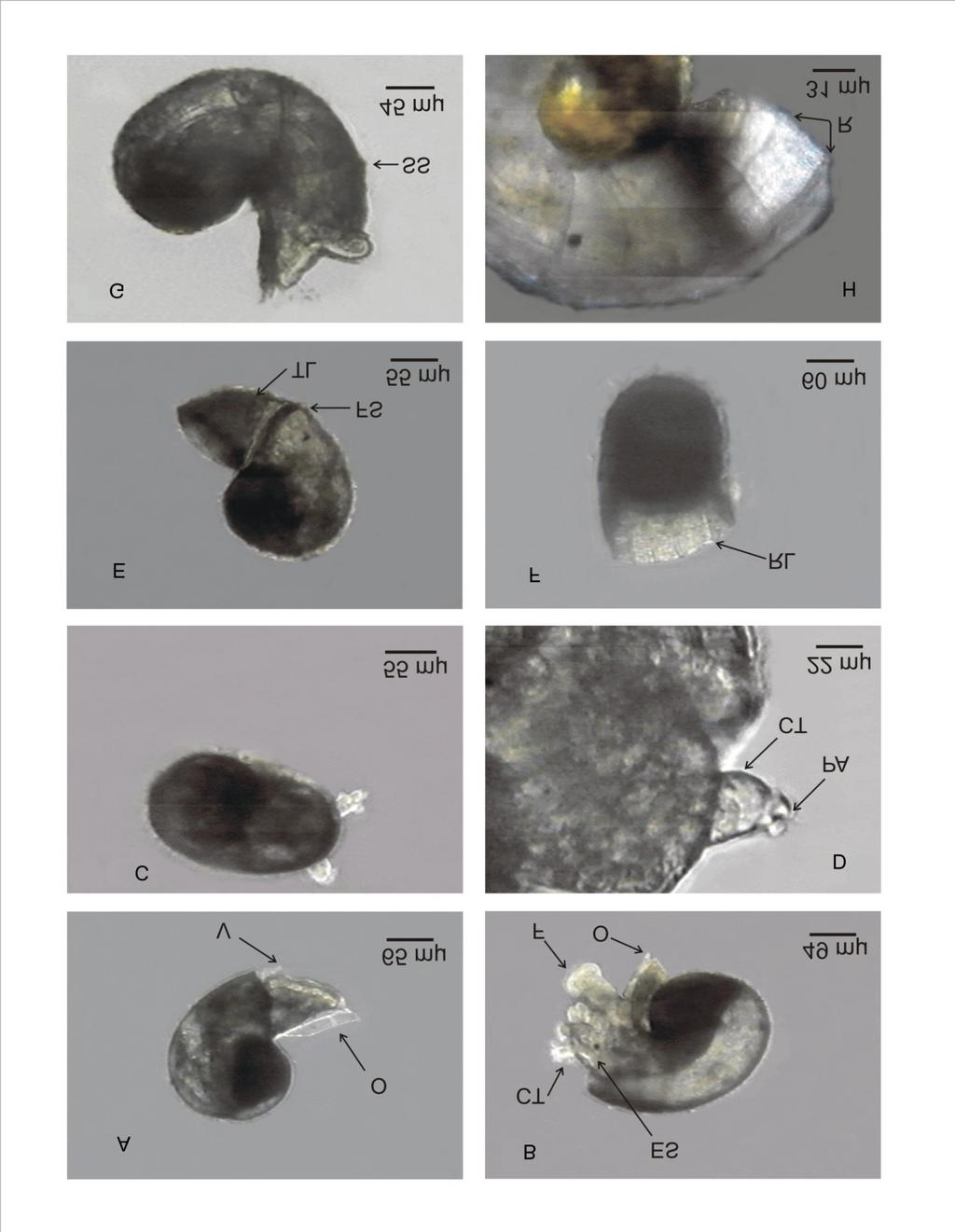 46 GUZMÁN DEL PRÓO et al. Day 5. Postlarvae size unchanged. Cephalic tentacles with papillae (Fig. 2D) were pres- Figure 2. Development stages in Tegula eiseni.