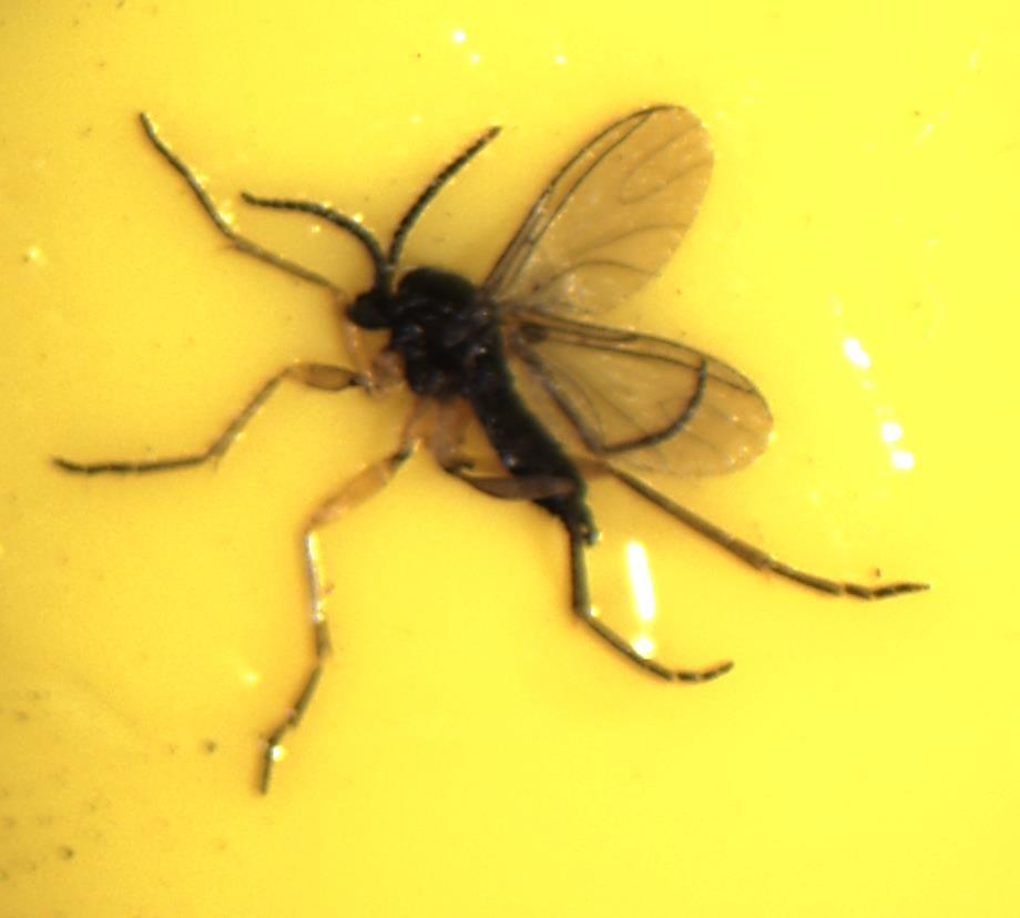 Adult Fungus Gnat Look for distinct Y-shaped