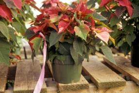Pest Infested Indicator Plants Poinsettia plant tagged as pest