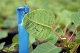 Pest Infested Indictor Plants Can be used to track whitefly