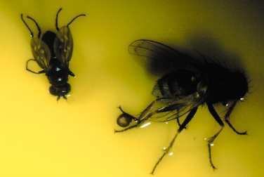 This shows the size comparison between a shore fly on the left and hunter fly on the right.